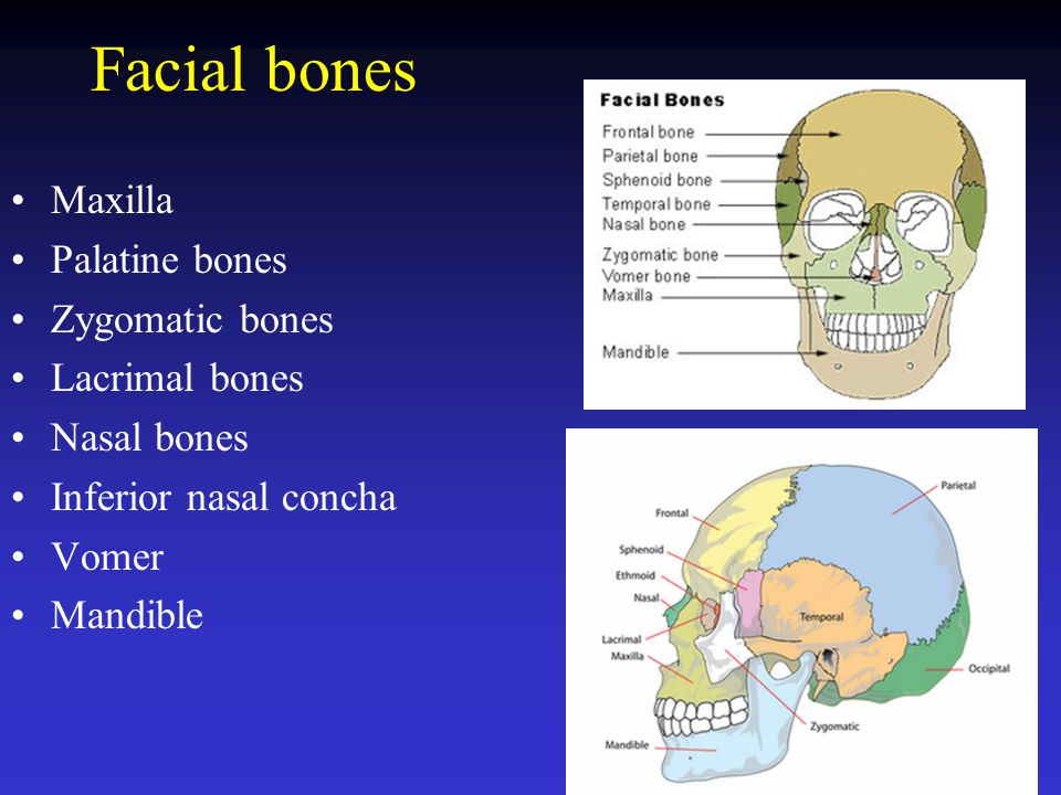 Maxilla Palatine bones Alveolar processes Palatine process