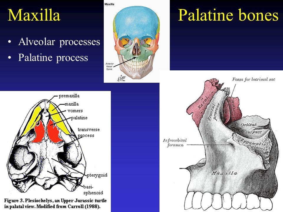 Zygomatic and lacrimal bones Zygomatic bone –zygomatic arch –Lower ocular orbit Lacrimal bones –nasolacrimal canal