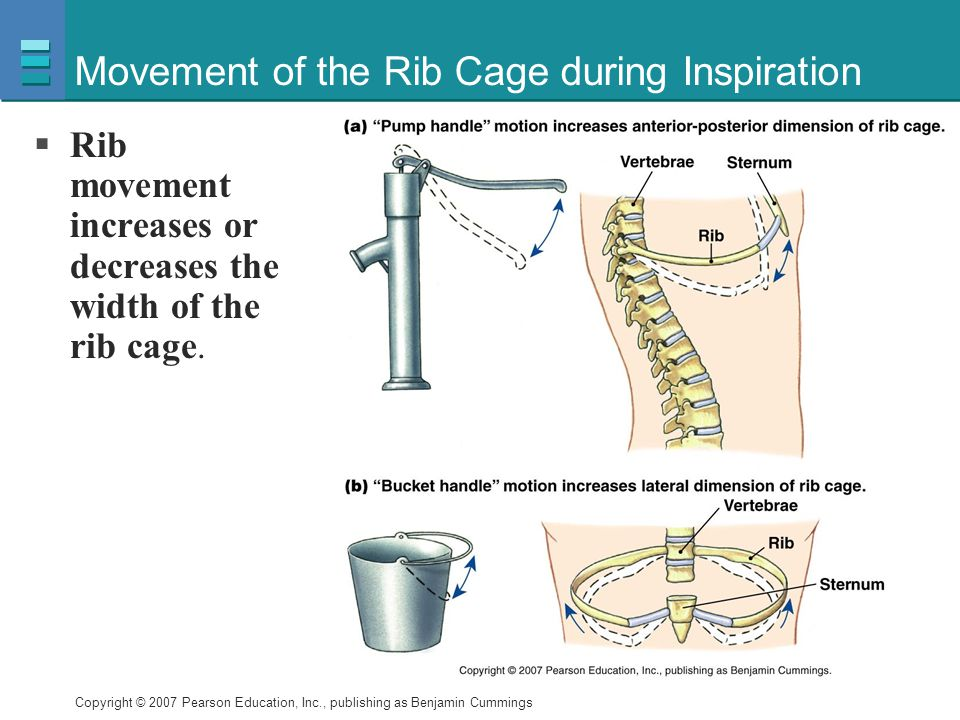 Copyright © 2007 Pearson Education, Inc., publishing as Benjamin Cummings Movement of the Rib Cage during Inspiration  Rib movement increases or decreases the width of the rib cage.