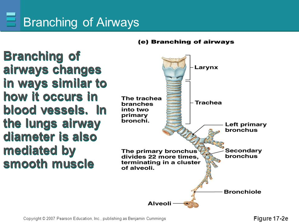 Copyright © 2007 Pearson Education, Inc., publishing as Benjamin Cummings Figure 17-2e Branching of Airways Branching of airways changes in ways similar to how it occurs in blood vessels.