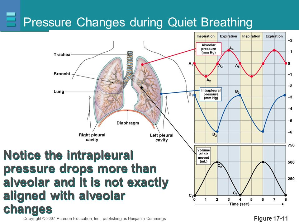 Copyright © 2007 Pearson Education, Inc., publishing as Benjamin Cummings Figure 17-11 Pressure Changes during Quiet Breathing Notice the intrapleural pressure drops more than alveolar and it is not exactly aligned with alveolar changes