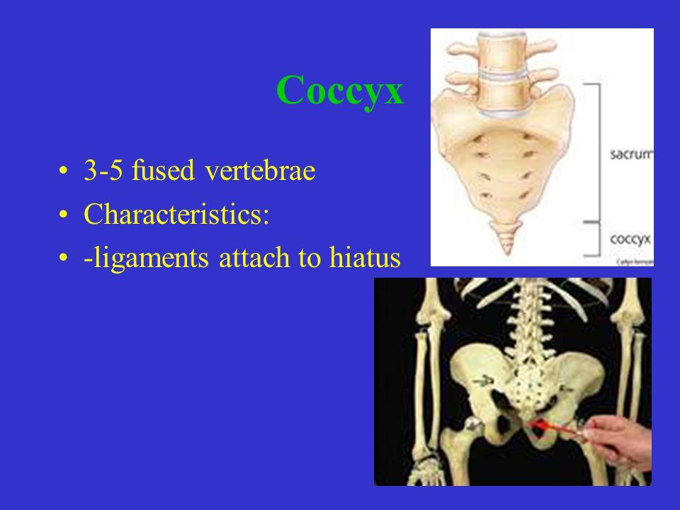 Coccyx 3-5 fused vertebrae Characteristics: -ligaments attach to hiatus