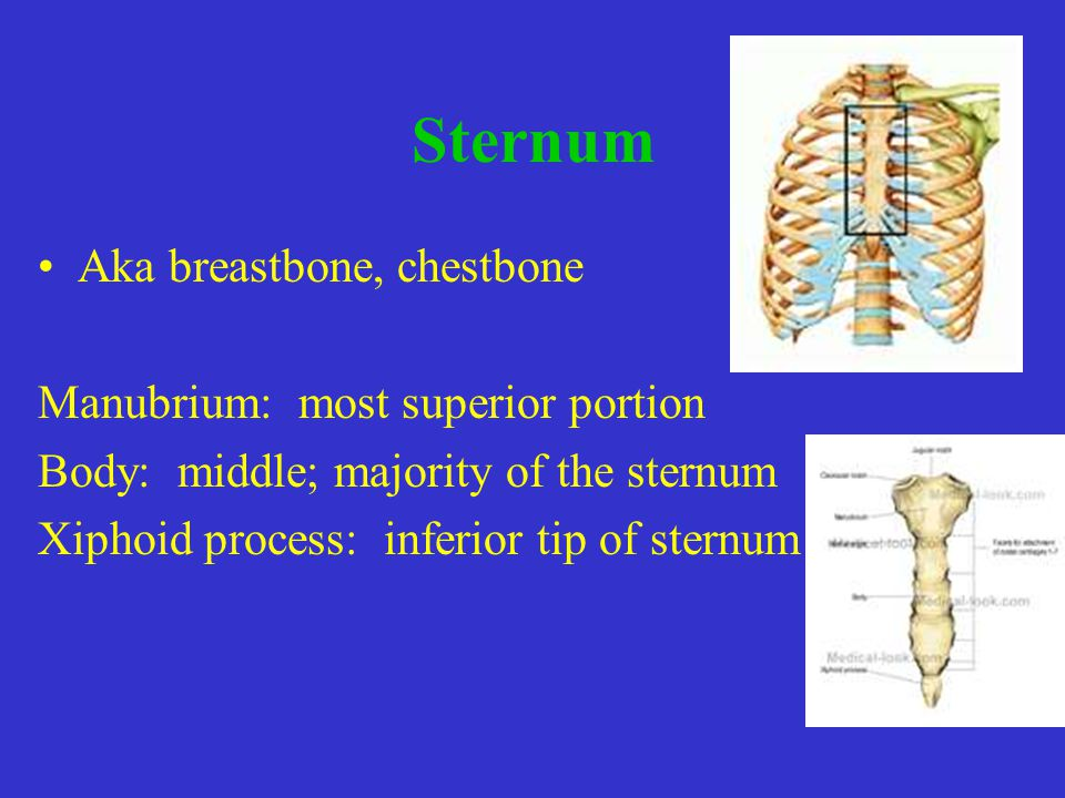 Sternum Aka breastbone, chestbone Manubrium: most superior portion Body: middle; majority of the sternum Xiphoid process: inferior tip of sternum