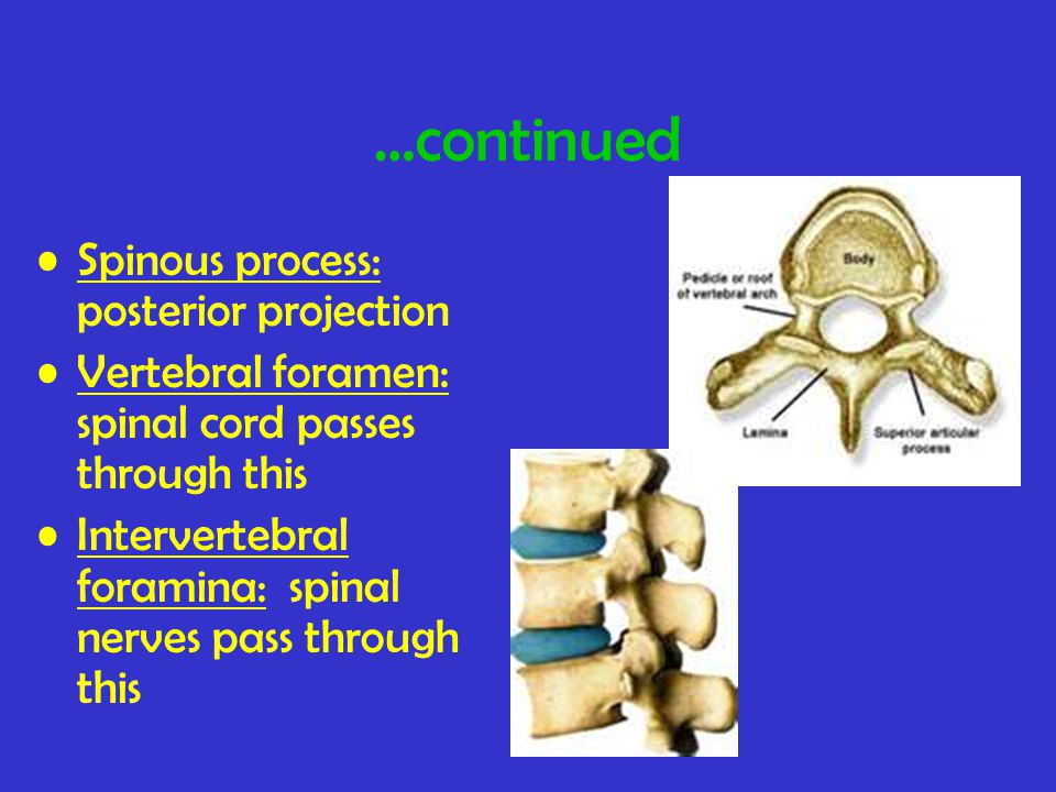 …continued Spinous process: posterior projection Vertebral foramen: spinal cord passes through this Intervertebral foramina: spinal nerves pass through this