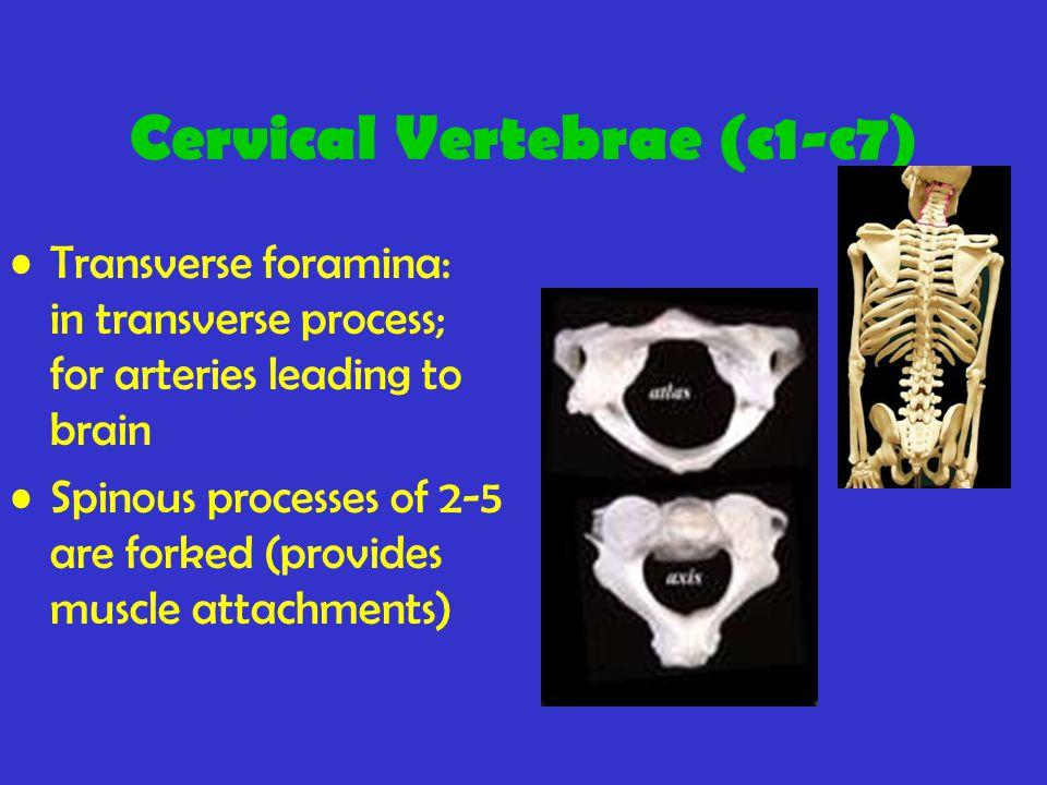 Cervical Vertebrae (c1-c7) Transverse foramina: in transverse process; for arteries leading to brain Spinous processes of 2-5 are forked (provides muscle attachments)