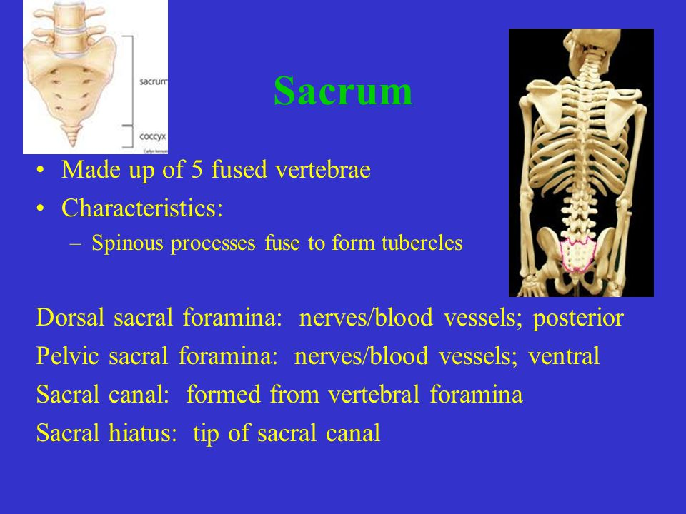 Sacrum Made up of 5 fused vertebrae Characteristics: –Spinous processes fuse to form tubercles Dorsal sacral foramina: nerves/blood vessels; posterior Pelvic sacral foramina: nerves/blood vessels; ventral Sacral canal: formed from vertebral foramina Sacral hiatus: tip of sacral canal