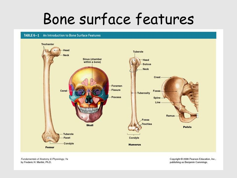 Bone surface features