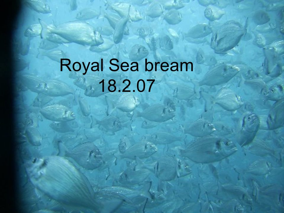 Royal Sea bream 18.2.07