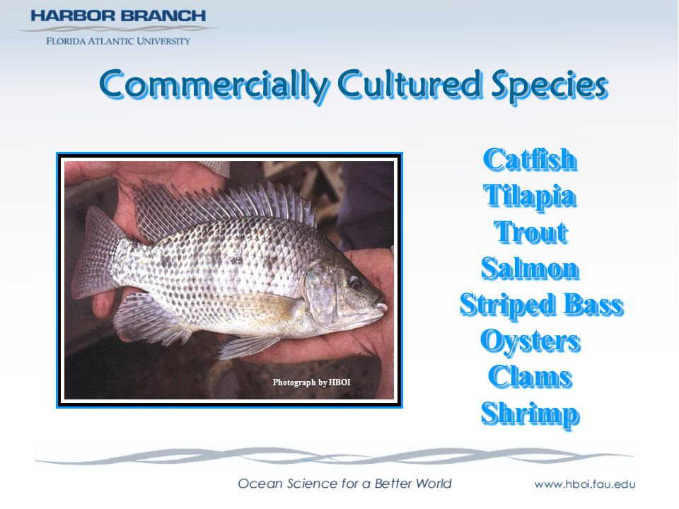Research and Development Species SnapperCobiaFlounderPompanoSturgeonTunaConchLobsterSnapperCobiaFlounderPompanoSturgeonTunaConchLobster Photograph by HBOI