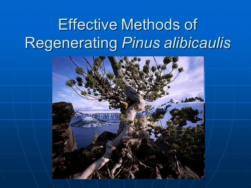 Effective Methods of Regenerating Pinus alibicaulis