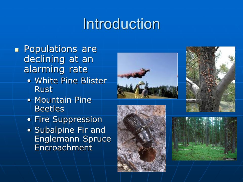 Introduction Populations are declining at an alarming rate Populations are declining at an alarming rate White Pine Blister RustWhite Pine Blister Rust Mountain Pine BeetlesMountain Pine Beetles Fire SuppressionFire Suppression Subalpine Fir and Englemann Spruce EncroachmentSubalpine Fir and Englemann Spruce Encroachment