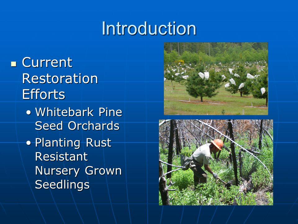 Introduction Current Restoration Efforts Current Restoration Efforts Whitebark Pine Seed OrchardsWhitebark Pine Seed Orchards Planting Rust Resistant Nursery Grown SeedlingsPlanting Rust Resistant Nursery Grown Seedlings