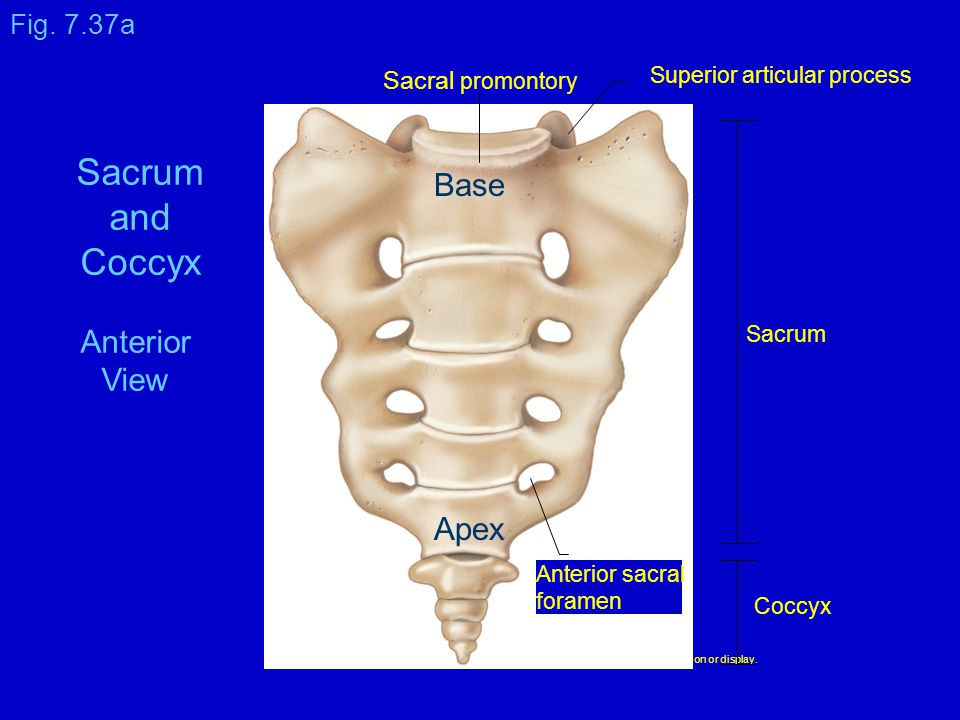 Copyright © The McGraw-Hill Companies, Inc. Permission required for reproduction or display. Coccyx Sacrum Superior articular process Sacral promontor