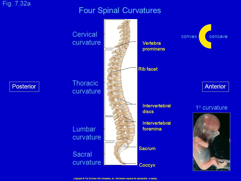 Copyright © The McGraw-Hill Companies, Inc. Permission required for reproduction or display. Cervical curvature Thoracic curvature Lumbar curvature Sa