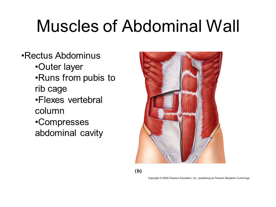 Muscles of Abdominal Wall Rectus Abdominus Outer layer Runs from pubis to rib cage Flexes vertebral column Compresses abdominal cavity