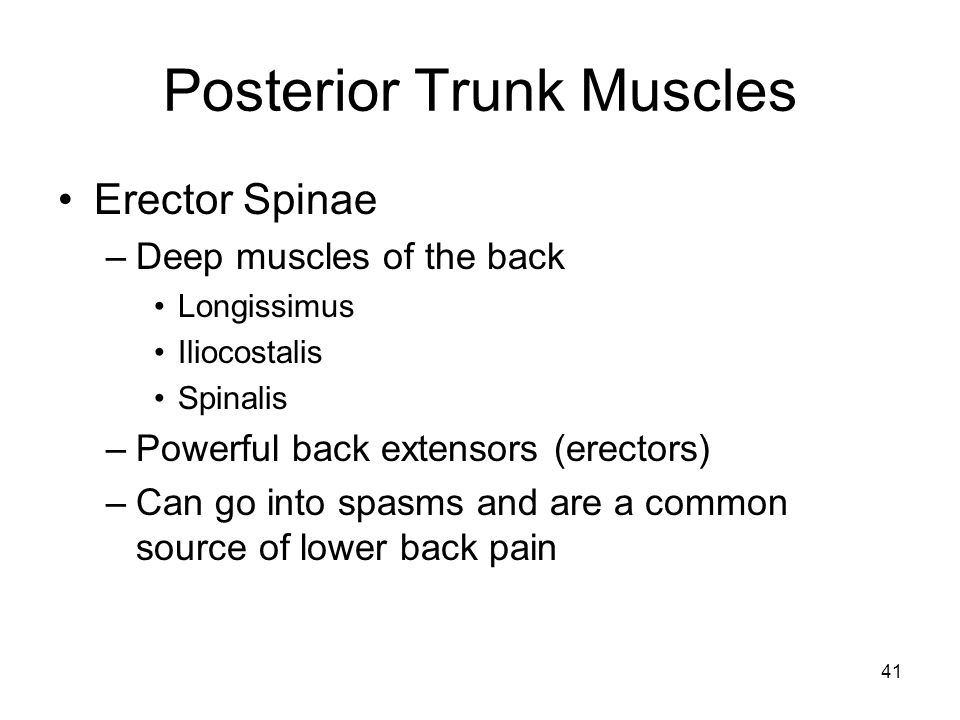 Posterior Trunk Muscles Erector Spinae –Deep muscles of the back Longissimus Iliocostalis Spinalis –Powerful back extensors (erectors) –Can go into spasms and are a common source of lower back pain 41