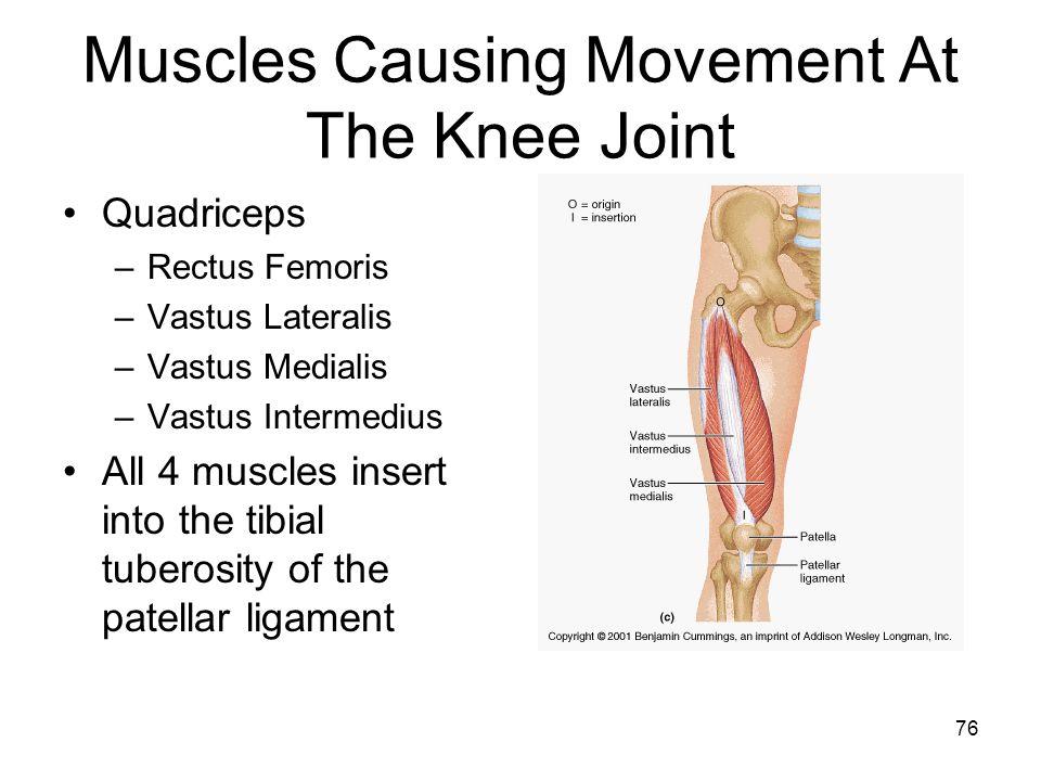 Muscles Causing Movement At The Knee Joint Quadriceps –Rectus Femoris –Vastus Lateralis –Vastus Medialis –Vastus Intermedius All 4 muscles insert into the tibial tuberosity of the patellar ligament 76