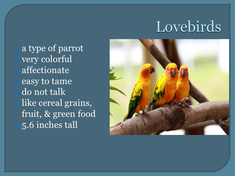  a type of parrot  very colorful  affectionate  easy to tame  do not talk  like cereal grains, fruit, & green food  5.6 inches tall