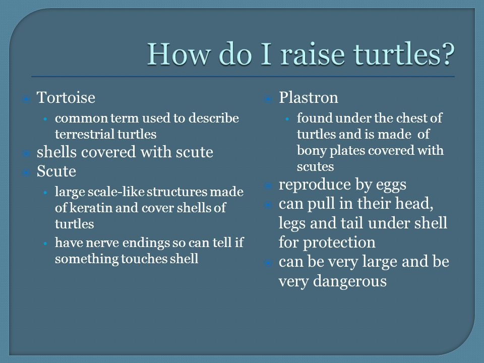  Tortoise common term used to describe terrestrial turtles  shells covered with scute  Scute large scale-like structures made of keratin and cover shells of turtles have nerve endings so can tell if something touches shell  Plastron found under the chest of turtles and is made of bony plates covered with scutes  reproduce by eggs  can pull in their head, legs and tail under shell for protection  can be very large and be very dangerous