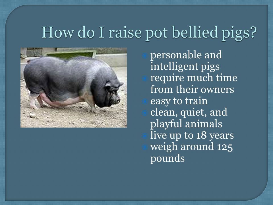  personable and intelligent pigs  require much time from their owners  easy to train  clean, quiet, and playful animals  live up to 18 years  weigh around 125 pounds