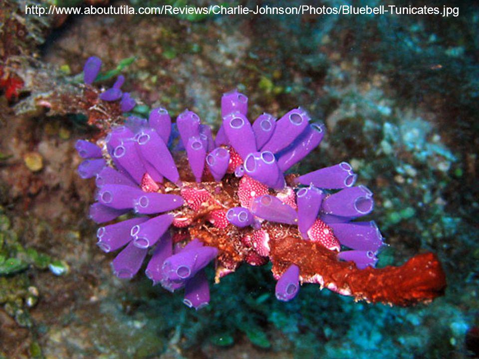 http://www.aboututila.com/Reviews/Charlie-Johnson/Photos/Bluebell-Tunicates.jpg