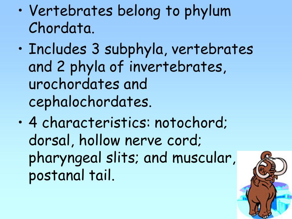 Vertebrates belong to phylum Chordata.