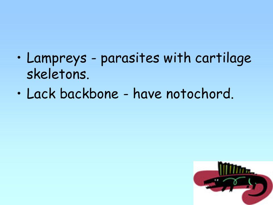 Lampreys - parasites with cartilage skeletons. Lack backbone - have notochord.