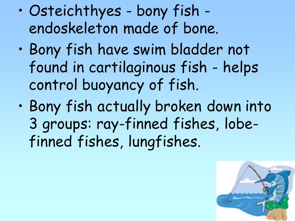 Osteichthyes - bony fish - endoskeleton made of bone.