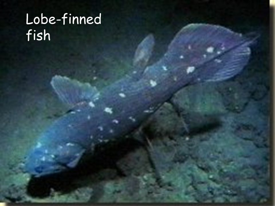 Lobe-finned fish