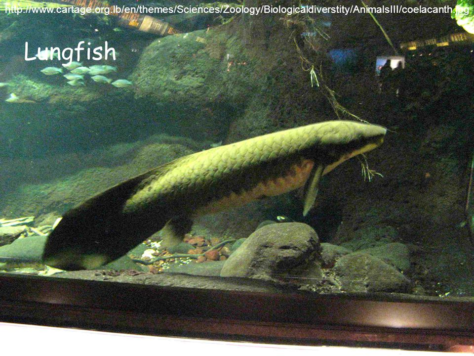 http://www.cartage.org.lb/en/themes/Sciences/Zoology/Biologicaldiverstity/AnimalsIII/coelacanth.jpg Lungfish
