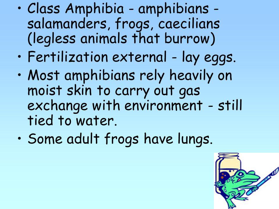 Class Amphibia - amphibians - salamanders, frogs, caecilians (legless animals that burrow) Fertilization external - lay eggs.