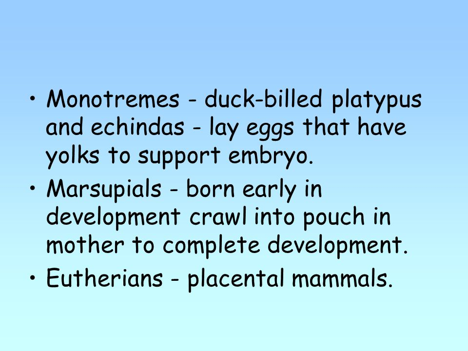 Monotremes - duck-billed platypus and echindas - lay eggs that have yolks to support embryo.