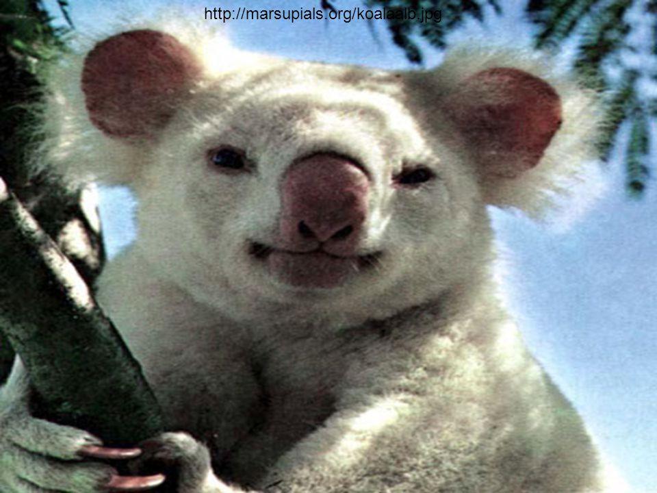 http://marsupials.org/koalaalb.jpg