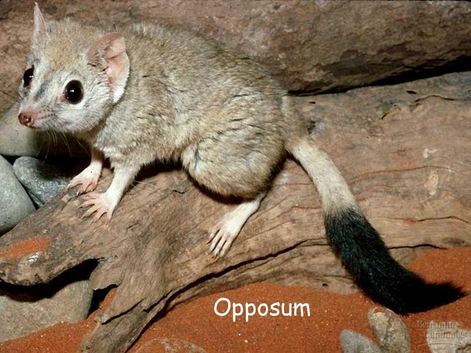 Opposum