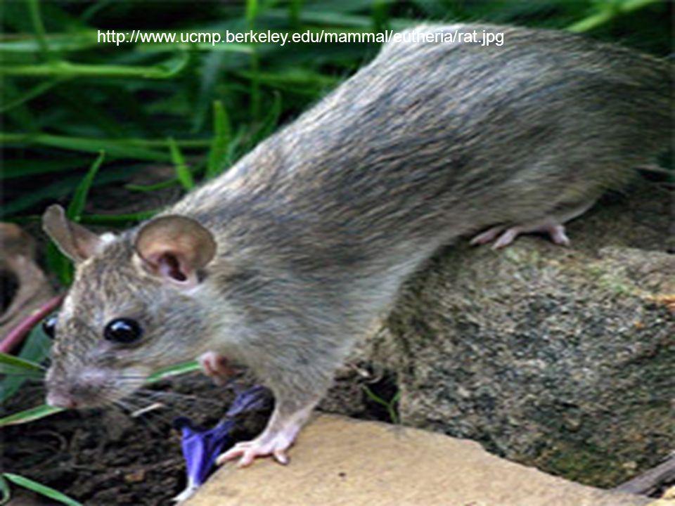 http://www.ucmp.berkeley.edu/mammal/eutheria/rat.jpg