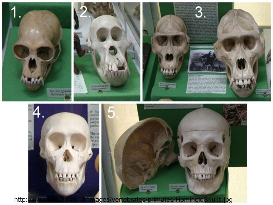 http://www.nhc.ed.ac.uk/images/vertebrates/primates/HominoidSkulls.jpg