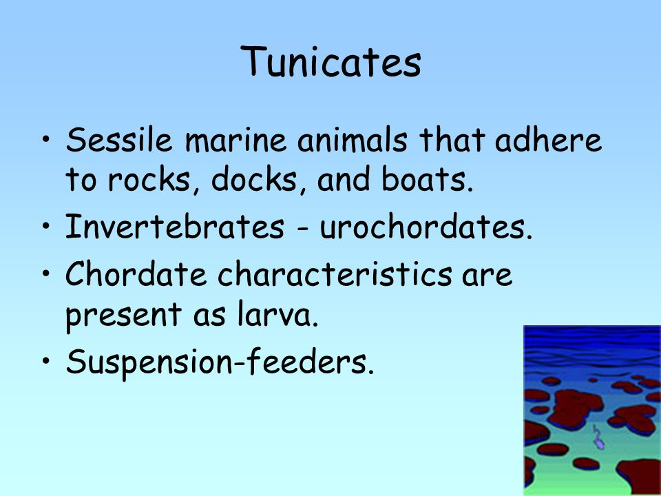 Tunicates Sessile marine animals that adhere to rocks, docks, and boats.