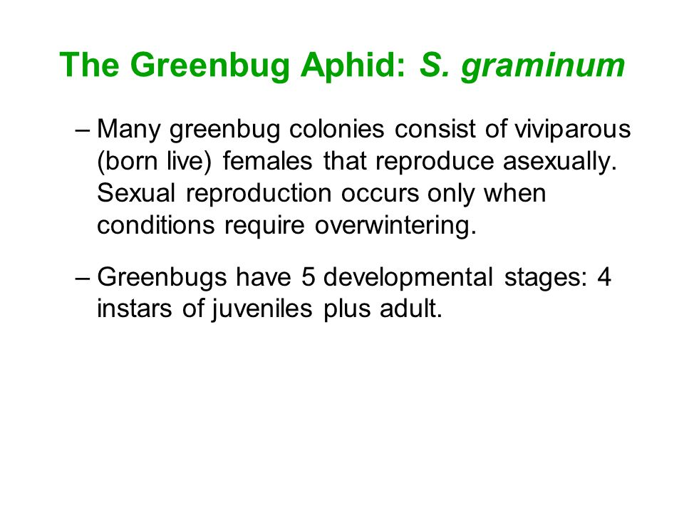 The Greenbug Aphid: S. graminum –Many greenbug colonies consist of viviparous (born live) females that reproduce asexually. Sexual reproduction occurs
