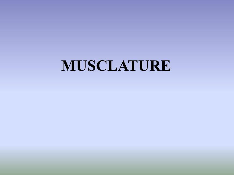 MUSCLATURE