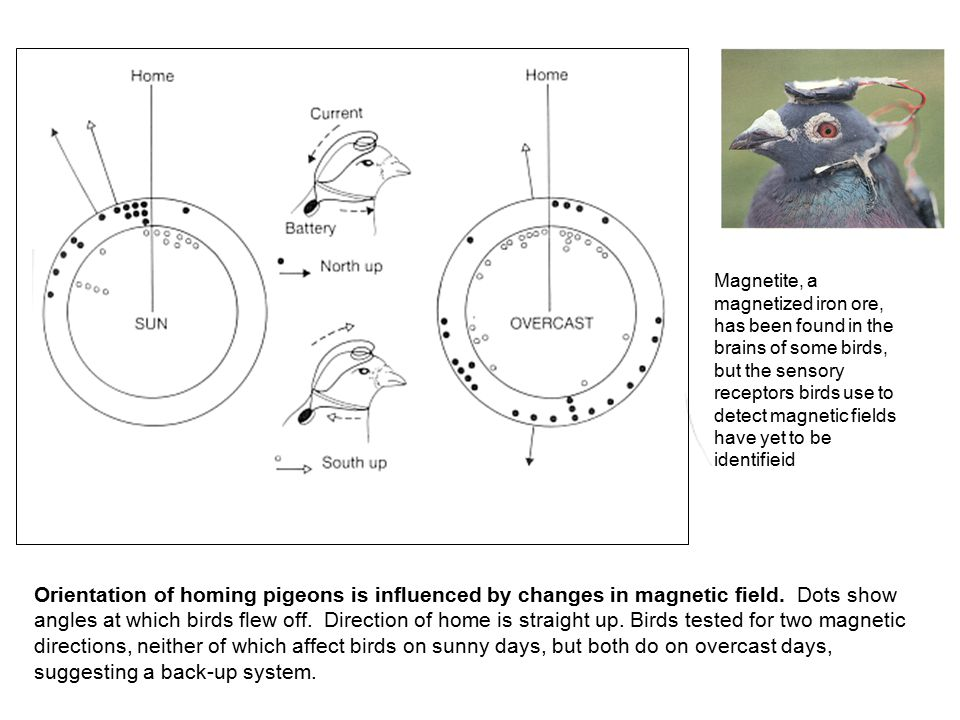 Orientation of homing pigeons is influenced by changes in magnetic field. Dots show angles at which birds flew off. Direction of home is straight up.