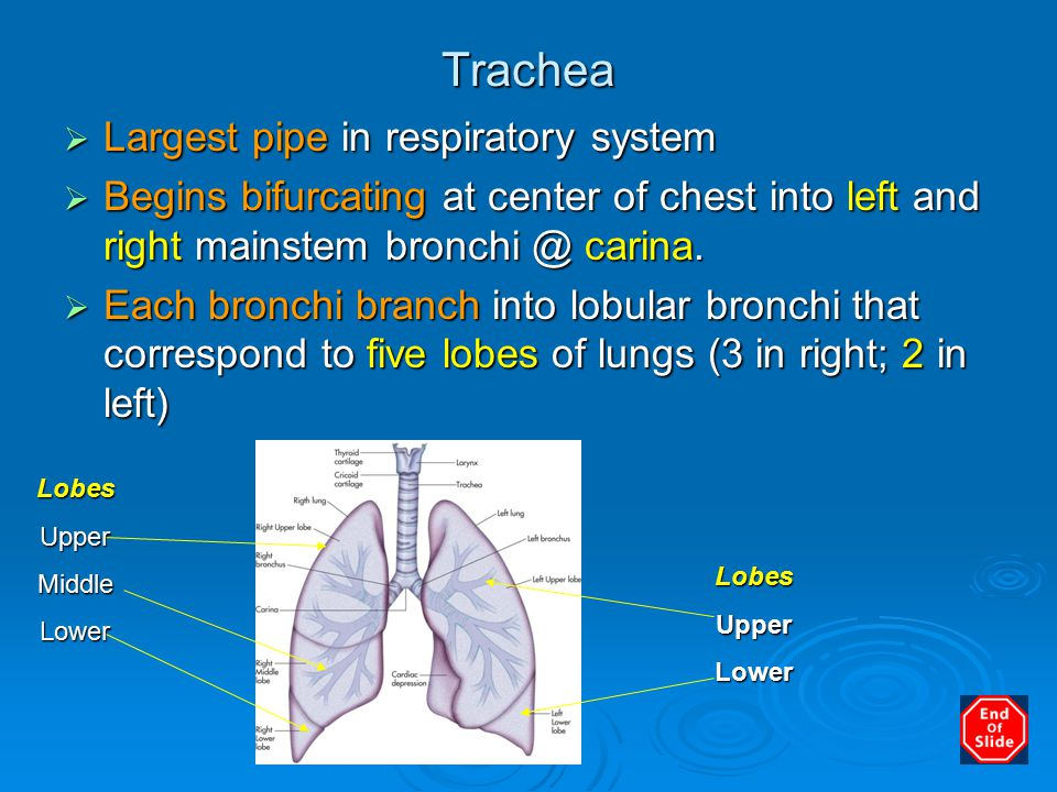 Trachea  Largest pipe in respiratory system  Begins bifurcating at center of chest into left and right mainstem bronchi @ carina.