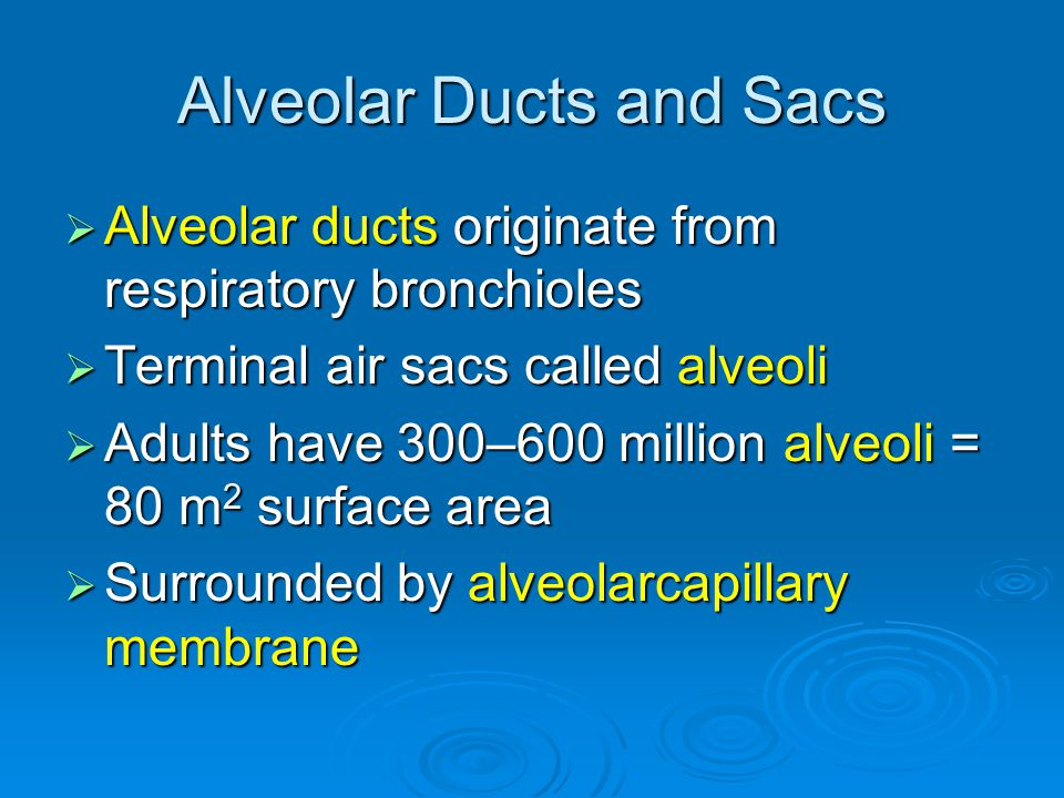 Alveolar Ducts and Sacs  Alveolar ducts originate from respiratory bronchioles  Terminal air sacs called alveoli  Adults have 300–600 million alveoli = 80 m 2 surface area  Surrounded by alveolarcapillary membrane