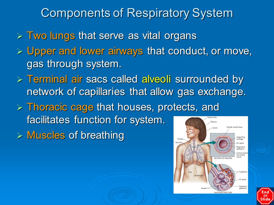 Components of Respiratory System  Two lungs that serve as vital organs  Upper and lower airways that conduct, or move, gas through system.