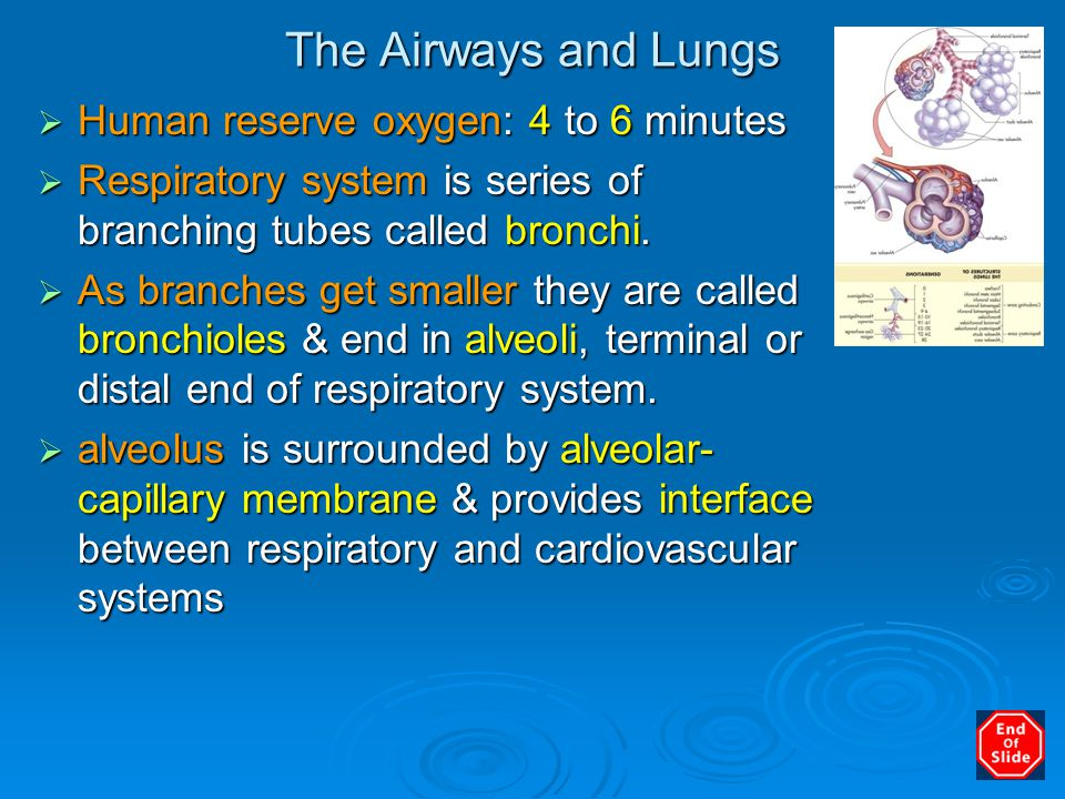 The Airways and Lungs  Human reserve oxygen: 4 to 6 minutes  Respiratory system is series of branching tubes called bronchi.