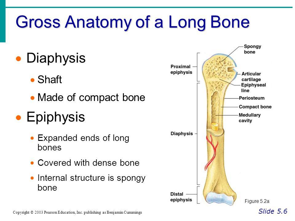 Gross Anatomy of a Long Bone Slide 5.6 Copyright © 2003 Pearson Education, Inc.