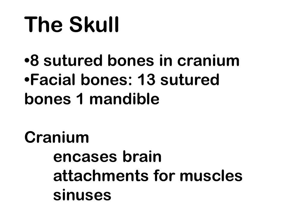The Skull 8 sutured bones in cranium Facial bones: 13 sutured bones 1 mandible Cranium encases brain attachments for muscles sinuses