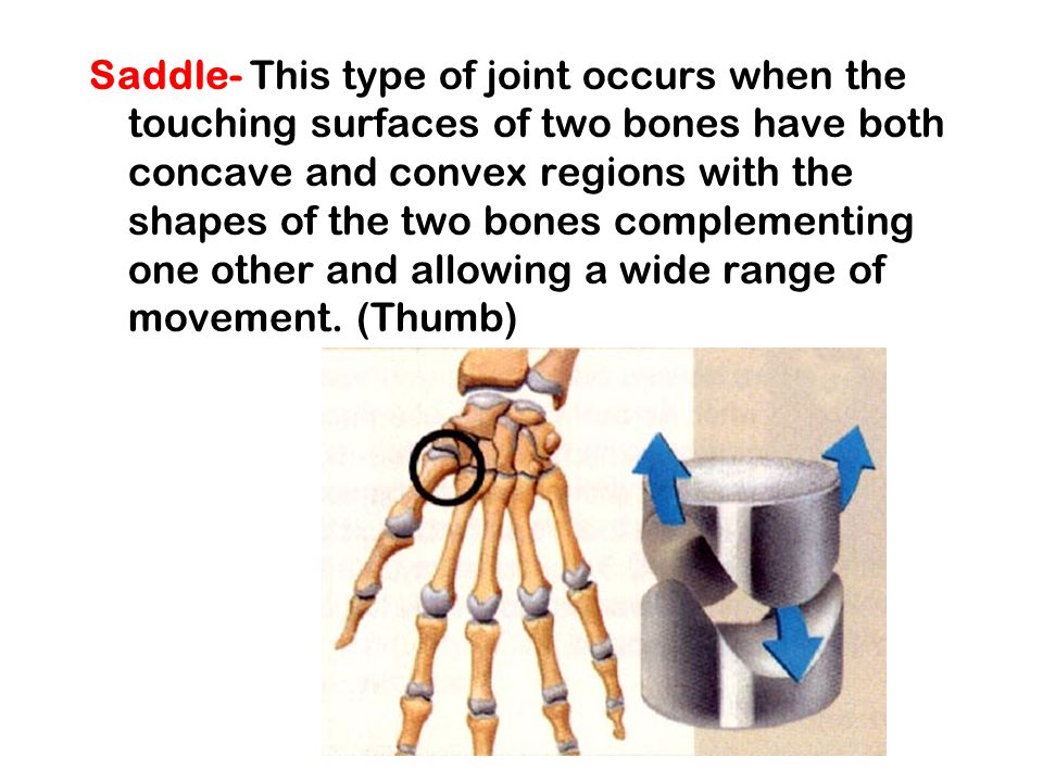 Saddle- This type of joint occurs when the touching surfaces of two bones have both concave and convex regions with the shapes of the two bones complementing one other and allowing a wide range of movement.