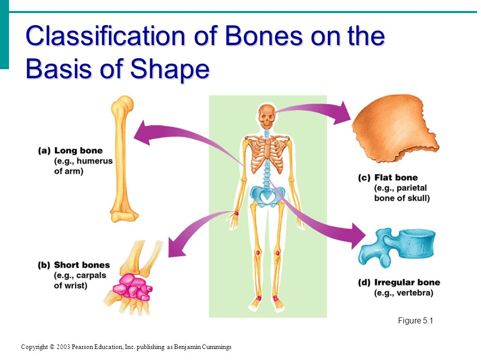 Classification of Bones on the Basis of Shape Copyright © 2003 Pearson Education, Inc.