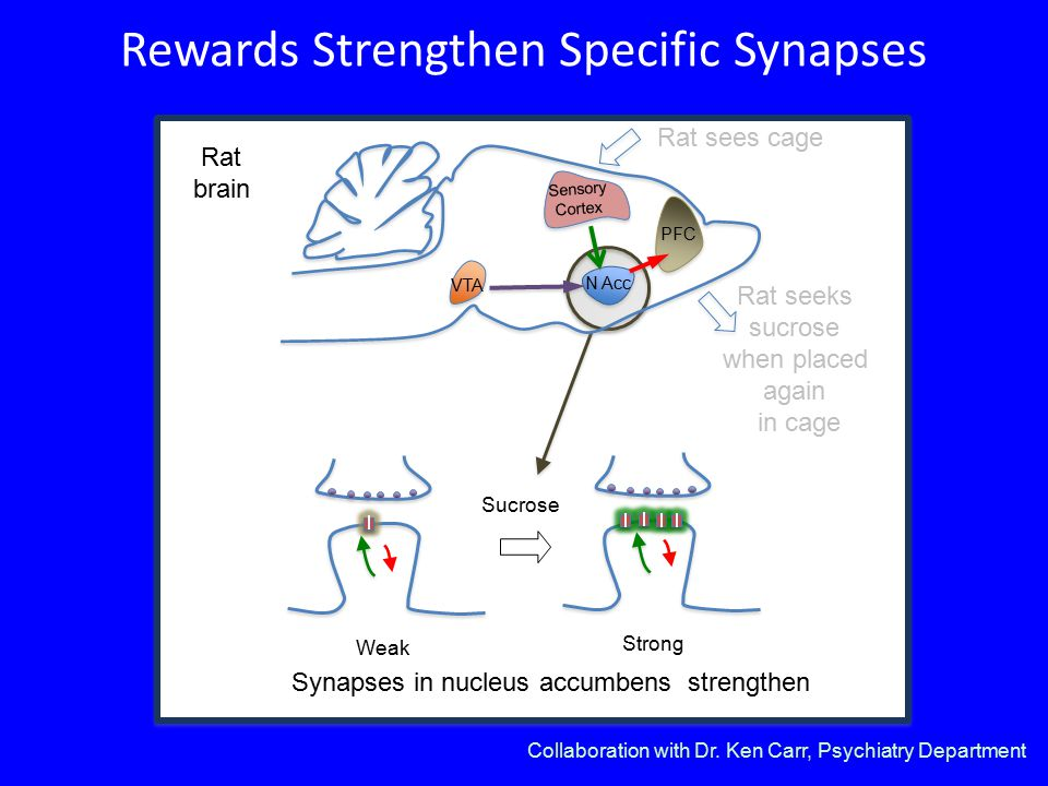 Rewards Strengthen Specific Synapses Su Sucrose Synapses in nucleus accumbens strengthen Weak Strong Sensory Cortex VTA PFC N Acc Rat brain Collaboration with Dr.