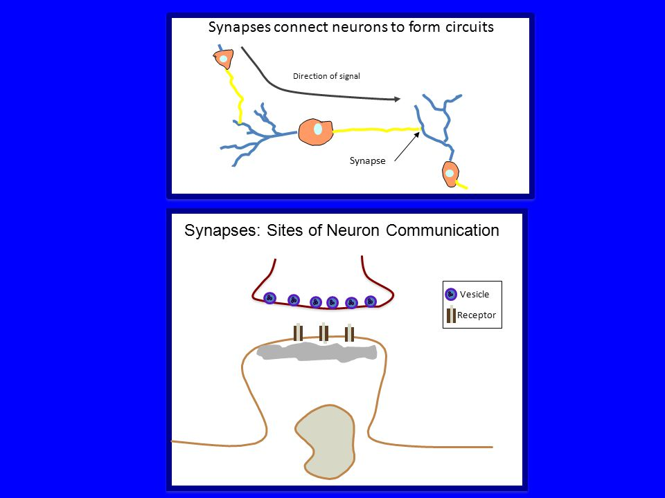 Synapses connect neurons to form circuits Receptor Synapse Direction of signal Synapses: Sites of Neuron Communication Vesicle